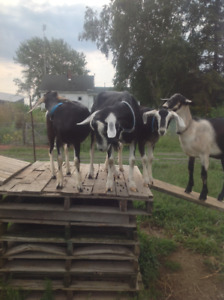 Goat, 2 doelings, excellent milk lines, will breed this fall