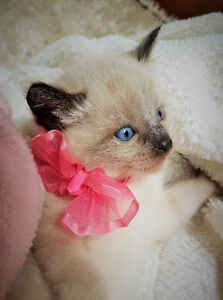 BEAUTIFUL RAGDOLL X KITTENS READY FOR CHRISTMAS!!