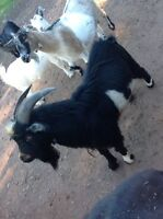 Couple pygmy