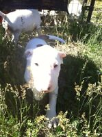 English Bull Terriers-Only 1 Left!