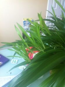 Baby Spider plants/ house plants, 2 for $1 Kitchener / Waterloo Kitchener Area image 3
