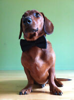 Frank the sausage dog  : Free +  asking for $200 SPCA donation