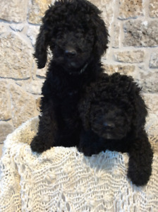 Adorable Family-raised Companion Goldendoodles F1B Ready to Go