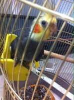 Cockatiel Bird For Sale
