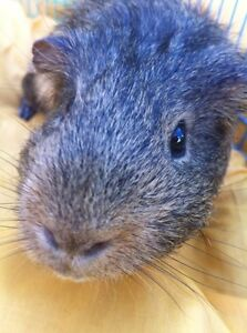 Small animal pet sitter, (Guinea pig, Hamster, etc) Strathcona County Edmonton Area image 1