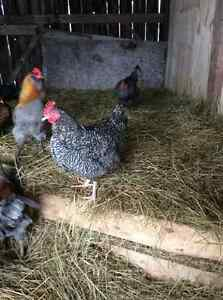 Heritage Roosters for sale