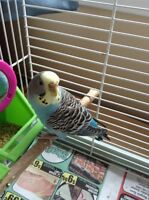 Budgie to good home