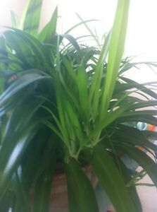 Baby Spider plants/ house plants, $2/each Kitchener / Waterloo Kitchener Area image 2