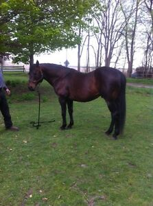 Standing Stud 'Foundation Bred' London Ontario image 3