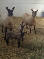 Sheep  - Ewes and lambs for sale
