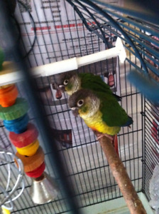 Yellow-side conure baby born end August 2017 parent raised