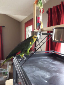 Blue Fronted Amazon parrot for sale