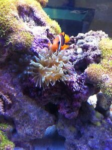 "Green Bubble Tip Anemone for sale 1-4"" Available"