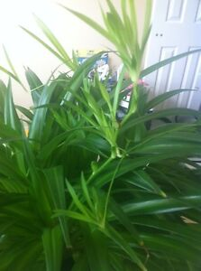 Baby Spider plants/ house plants, 2 for $1 Kitchener / Waterloo Kitchener Area image 4
