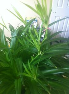 Baby Spider plants/ house plants, $2/each Kitchener / Waterloo Kitchener Area image 4