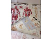 Study human body posters