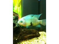 Large black belt cichlid