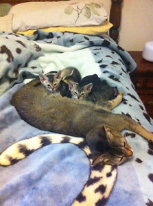 Beautiful Abyssinian kittens-Ready to go!
