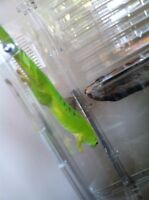 Male day gecko