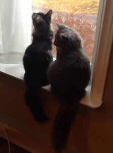 Looking for Persian or Himalayan Kitten in the Gander Area.