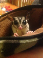 Young male sugar glider