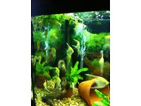Angel fish for sale