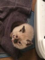 ISO looking for a person named Vikky that purchased this kitten