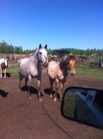 Foxy and foal - 11yr old grade Appaloosa mare and foal
