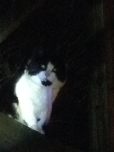 Black and white cat found in Kits