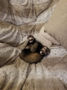 Adorable Young Ferrets for Sale!