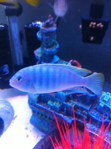 6 chiclids for sale