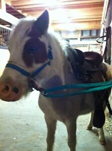 Adorable mini gelding
