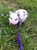 Reputable breeder of mini pet pigs! Accepting deposits for 2016