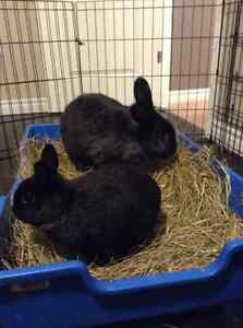 FREE 2 rabbits, spayed and neutered