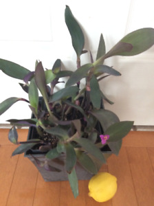 Spectacular Impossible to kill purple/green HEALTHY Plant