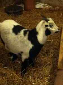 Pygmy Goat For Sale London Ontario image 2