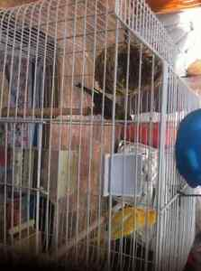 Beautiful canary birds , pair for 180 $