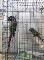 Pair of Green Cheeked Conures