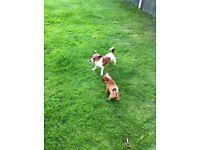 JUG,JackRussell x Pug pup