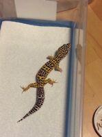 Leopard geckos forsale $25-$60