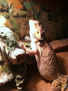 1 yet old bearded dragon
