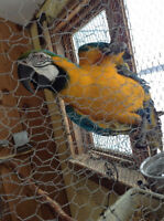 Blue and Gold Macaw For Sale!