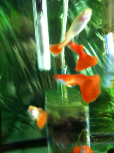 Albino full red Guppy for sale