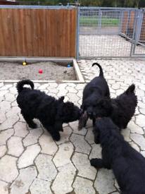 Labradoodle puppys(Left boy)