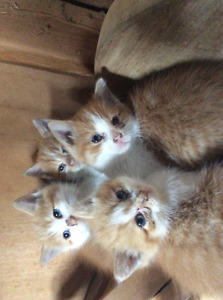 ginger tabbies looking for homes
