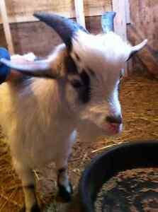 pygmy goats London Ontario image 1