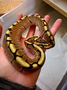 Female spider ballpython for trade(Please read full ad!)