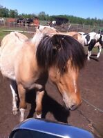 Serendipity - pretty Fjord / Pinto Arab filly
