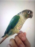 Conure turquoise yellow side 1 years old male