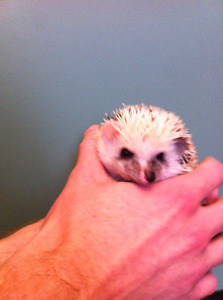 Baby Reverse Pinto Hedgiess!!